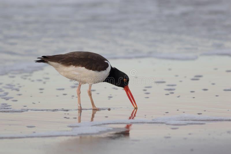 Η αμερικανική νερόκοτα προμηθεύει με ζωοτροφές κατά μήκος της παραλίας στην ανατολή στο ακρωτήριο Μάιος, NJ στοκ φωτογραφία με δικαίωμα ελεύθερης χρήσης