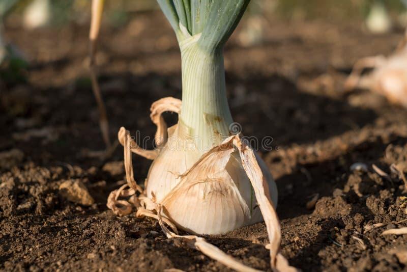 Η ανάπτυξη άσπρων κρεμμυδιών πάνω από το χώμα, πιάνει τον αργά το απόγευμα ήλιο στοκ φωτογραφία με δικαίωμα ελεύθερης χρήσης