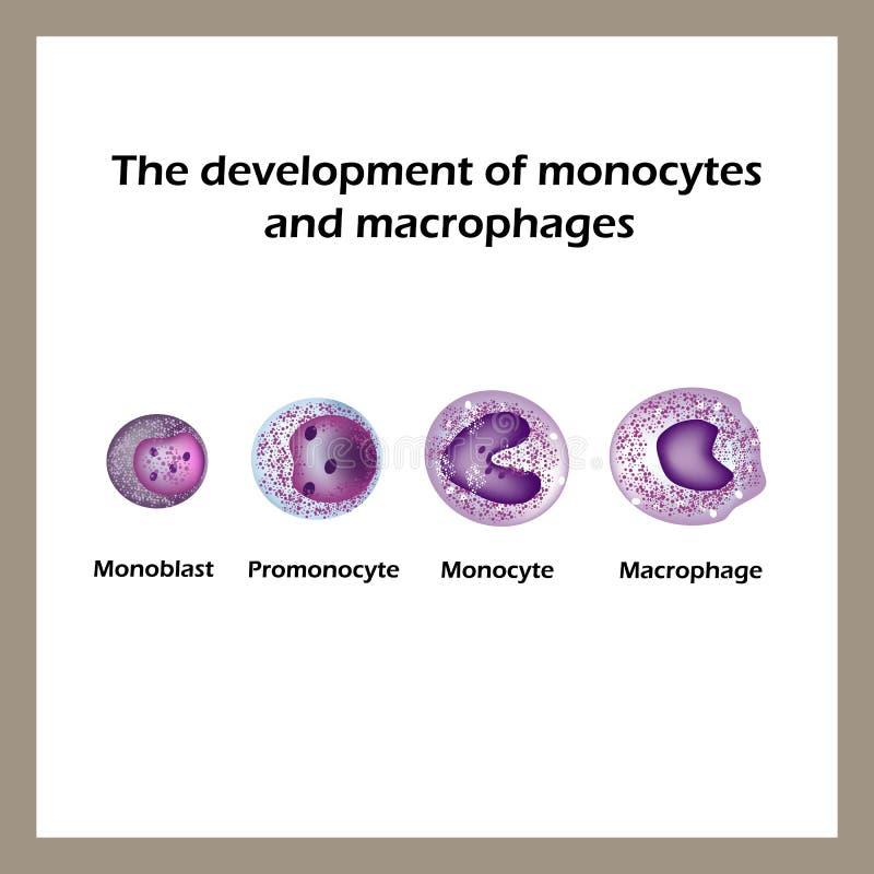 Η ανάπτυξη των μονοκυττάρων και των μακρόφαγων Infographics επίσης corel σύρετε το διάνυσμα απεικόνισης διανυσματική απεικόνιση