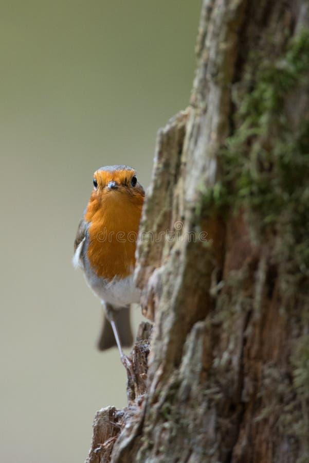 Η αναιδής κόκκινη Robin στοκ εικόνες