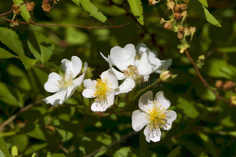 Η αναρρίχηση του λιβαδιού αυξήθηκε άνθη που χρωματίστηκαν ψηφιακά στοκ φωτογραφίες με δικαίωμα ελεύθερης χρήσης