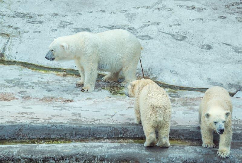 η ανασκόπηση αντέχει cubs που απομονώνονται πέρα από το πολικό λευκό σκιάς στοκ εικόνα με δικαίωμα ελεύθερης χρήσης