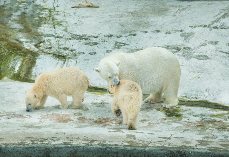 η ανασκόπηση αντέχει cubs που απομονώνονται πέρα από το πολικό λευκό σκιάς στοκ εικόνες με δικαίωμα ελεύθερης χρήσης