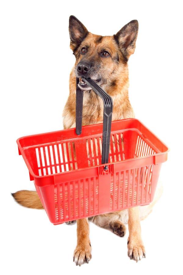 η ανασκόπηση γερμανικά απομόνωσε πέρα από το λευκό τσοπανόσκυλων στοκ φωτογραφία με δικαίωμα ελεύθερης χρήσης