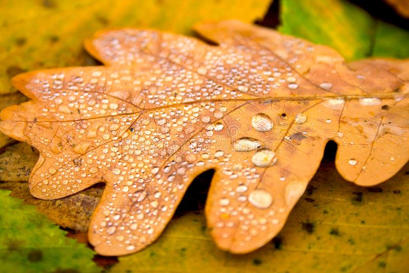 η ανασκόπηση φθινοπώρου εύκολη επιμελείται τη φύση εικόνας στο διάνυσμα Πεσμένο κίτρινο χρυσό φύλλο της βαλανιδιάς με τις πτώσεις στοκ φωτογραφίες