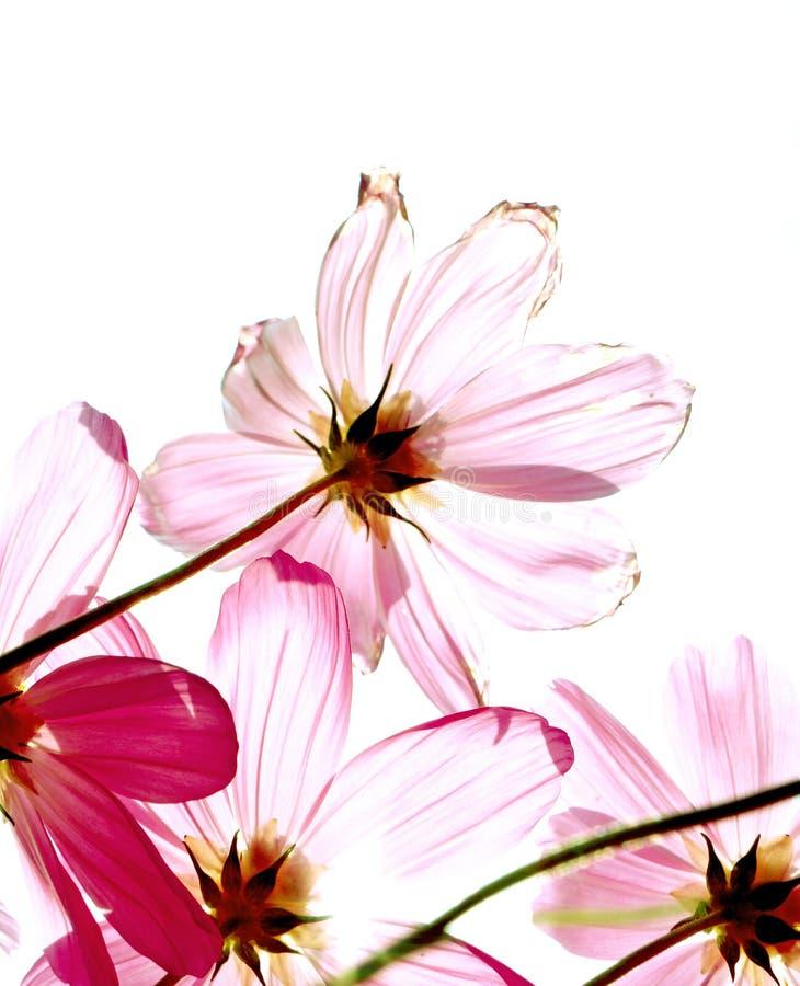 η ανασκόπηση χρωμάτισε dof βάθους κόσμου απομονωμένο μεγάλο μακρο βλασταημένο λευκό στούντιο λουλουδιών πεδίων το φούξια στοκ εικόνα