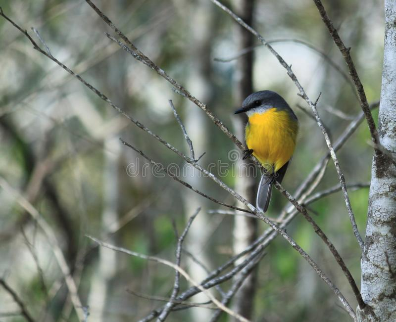 Η ανατολική κίτρινη Robin που σκαρφαλώνει σε έναν κλάδο στοκ φωτογραφίες με δικαίωμα ελεύθερης χρήσης