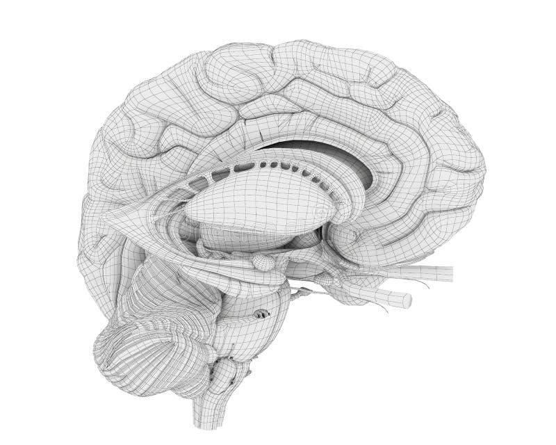 Η ανατομία εγκεφάλου διανυσματική απεικόνιση