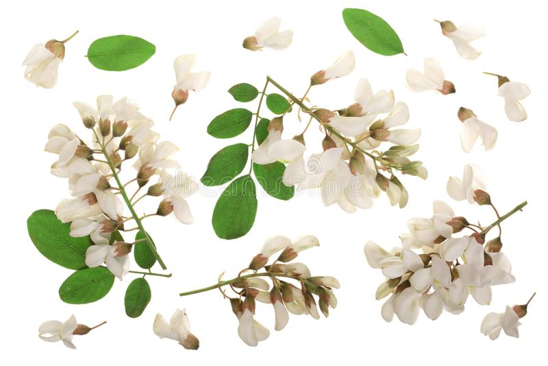 Η ανθίζοντας ακακία με βγάζει φύλλα απομονωμένος στο άσπρο υπόβαθρο, λουλούδια ακακιών, pseudoacacia Robinia Άσπρη ακακία στοκ εικόνες