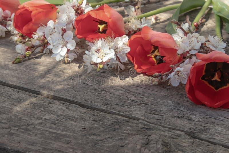 Η ανθοδέσμη με το άσπρο βερίκοκο ανθίζει και κόκκινες τουλίπες στο υπόβαθρο των παλαιών, ξύλινων πινάκων r στοκ εικόνες