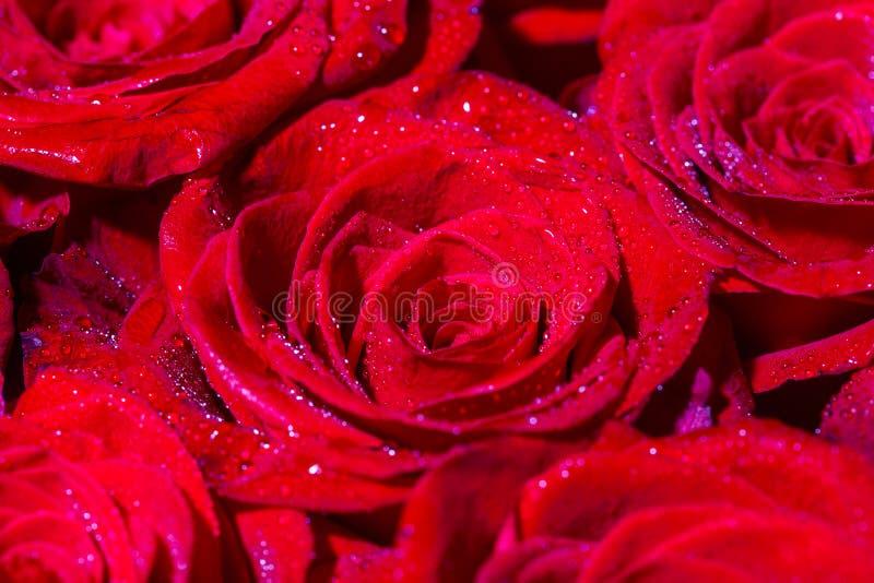 Η ανθοδέσμη των φρέσκων τριαντάφυλλων, ανθίζει το φωτεινό υπόβαθρο Ένας στενός επάνω μακρο πυροβολισμός ενός κοκκίνου αυξήθηκε E  στοκ εικόνα με δικαίωμα ελεύθερης χρήσης