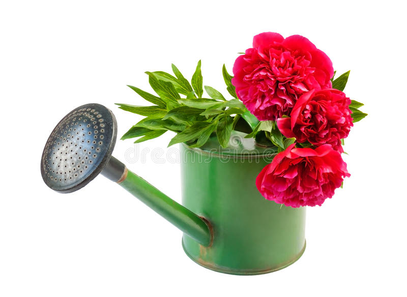 Η ανθοδέσμη των κόκκινων peonies στο πότισμα μπορεί απομονωμένος στο λευκό στοκ εικόνες