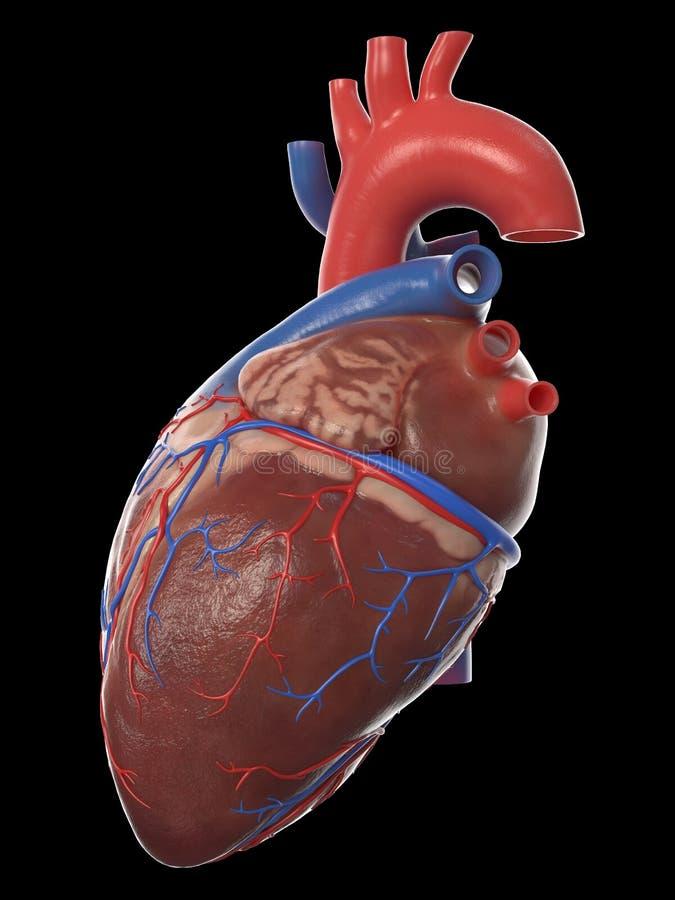 Η ανθρώπινη ανατομία καρδιών διανυσματική απεικόνιση