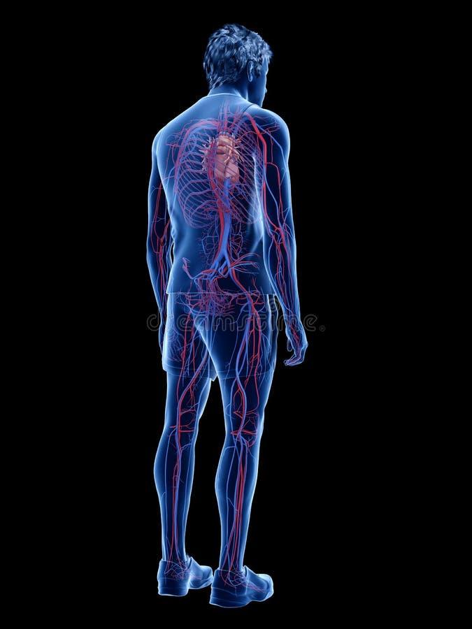 Η ανθρώπινη καρδιά και το αγγειακό σύστημα διανυσματική απεικόνιση