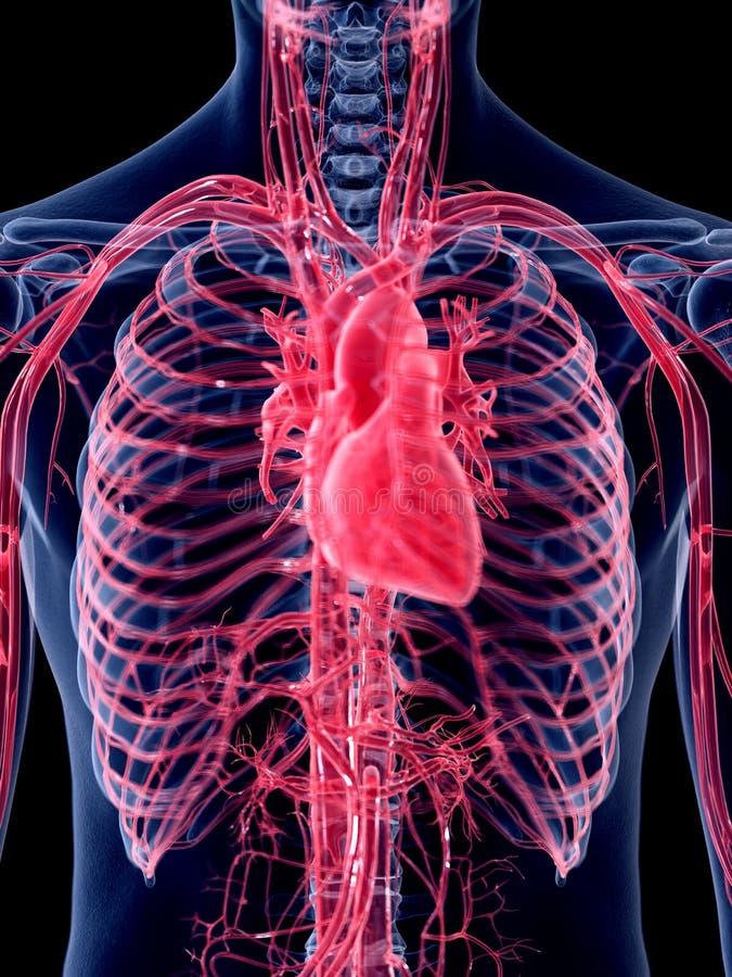 Η ανθρώπινη καρδιά διανυσματική απεικόνιση