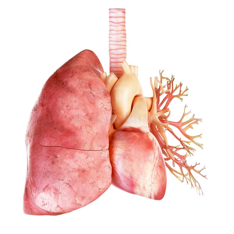 Η ανθρώπινοι καρδιά και ο πνεύμονας ελεύθερη απεικόνιση δικαιώματος