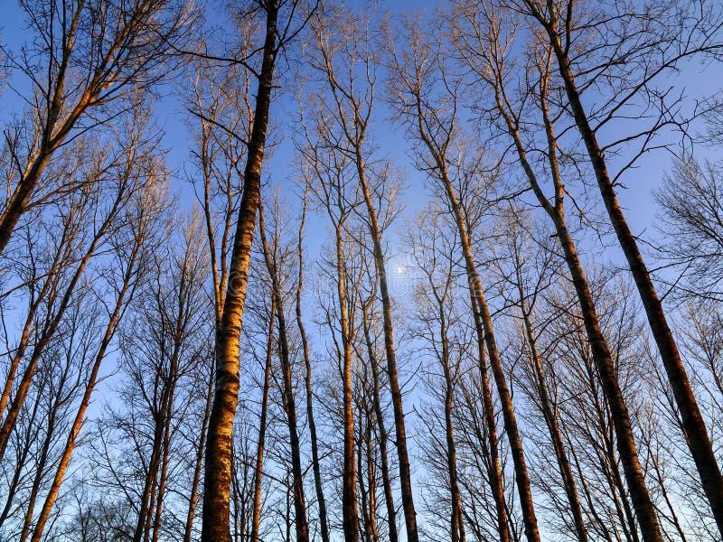 Η ανοδική άποψη προοπτικής ψηλού τα δέντρα σε ένα υπόβαθρο μπλε ουρανού, σύσταση στοκ φωτογραφία