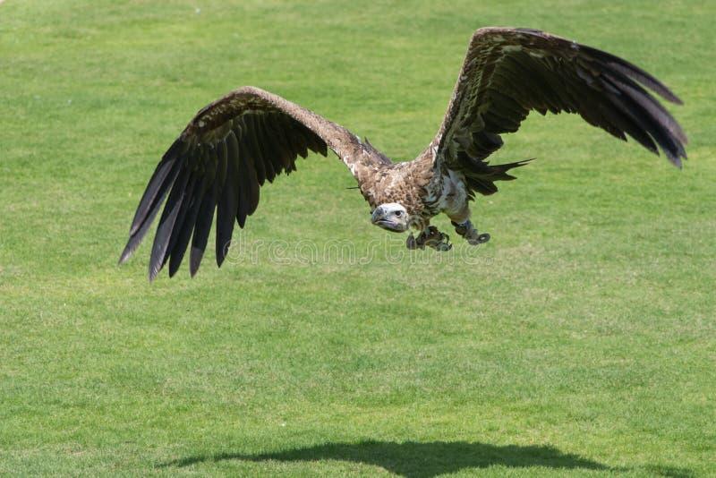 Η απογείωση fulvus Gyps γύπων griffon από το έδαφος που παρουσιάζει τεράστια φτερά του και που περπατά πέρα από την πράσινη χλόη στοκ εικόνες με δικαίωμα ελεύθερης χρήσης