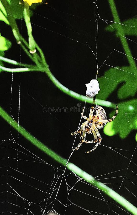 Η αράχνη επίασε μια μύγα στοκ φωτογραφία με δικαίωμα ελεύθερης χρήσης