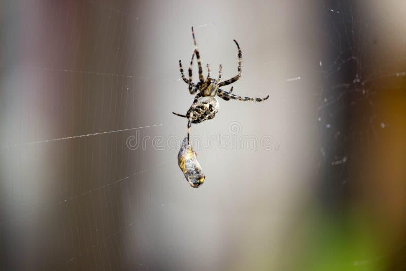 Η αράχνη πιάνει τη σφήκα στοκ εικόνα με δικαίωμα ελεύθερης χρήσης