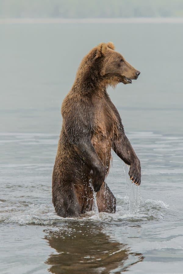 Η αρκούδα στέκεται στα οπίσθια πόδια της στοκ φωτογραφίες