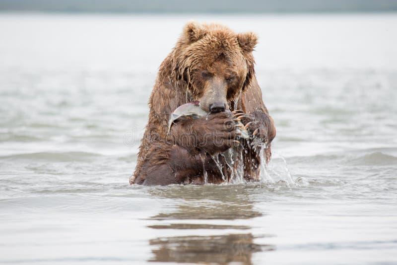 Η αρκούδα στέκεται στα οπίσθια πόδια της στοκ εικόνα με δικαίωμα ελεύθερης χρήσης