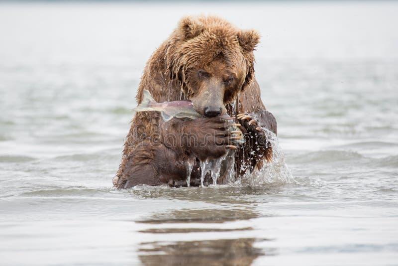 Η αρκούδα στέκεται στα οπίσθια πόδια της στοκ φωτογραφία