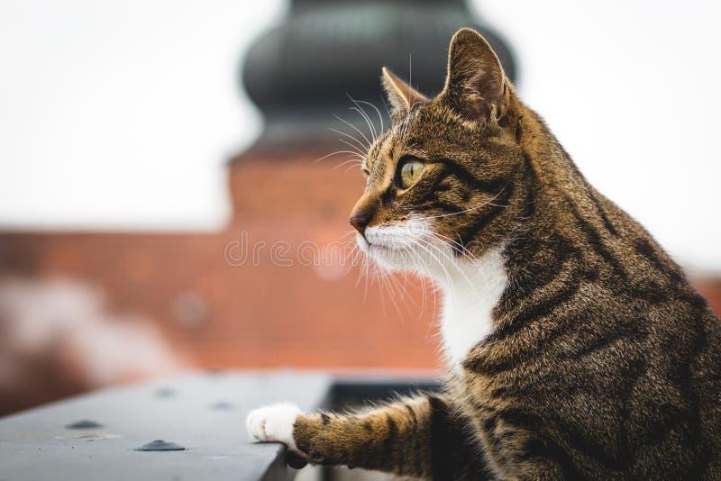 Η αρσενική γάτα τιγρών κοιτάζει πέρα από το στηθαίο στοκ φωτογραφία με δικαίωμα ελεύθερης χρήσης