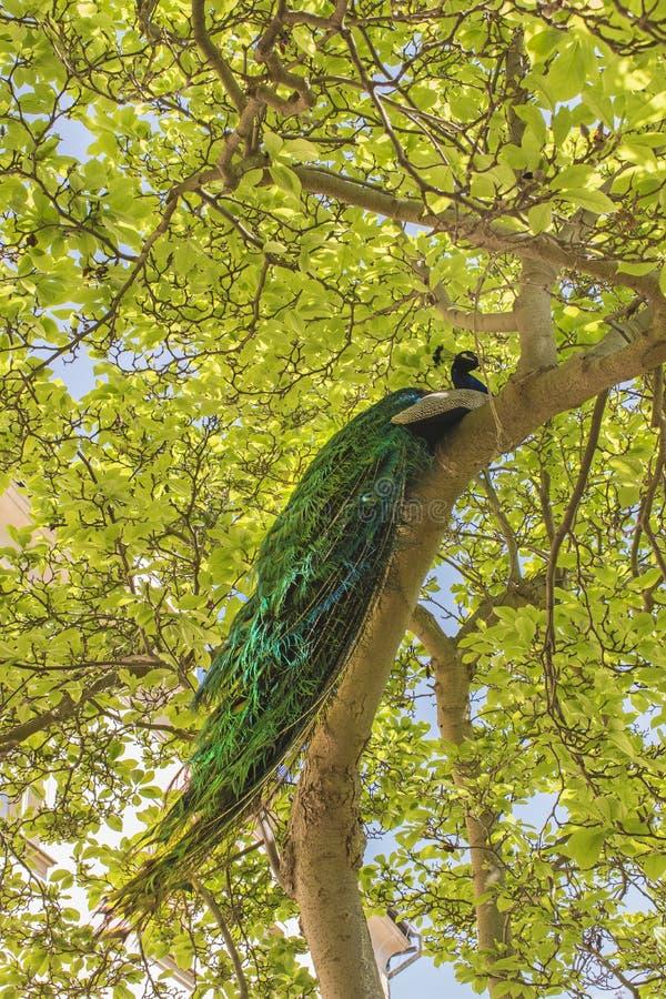 Η αρσενική συνεδρίαση peacock στον ογκώδη κλάδο του παλαιού δέντρου καλλιεργεί την άνοιξη στοκ φωτογραφία με δικαίωμα ελεύθερης χρήσης