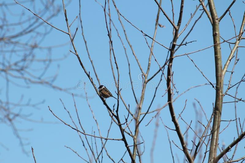 Η αρσενική συνεδρίαση schoeniclus Emberiza υφάσματος κοινών καλάμων στο γυμνό ελατήριο διακλαδίζεται ενάντια στο μπλε ουρανό στοκ εικόνες