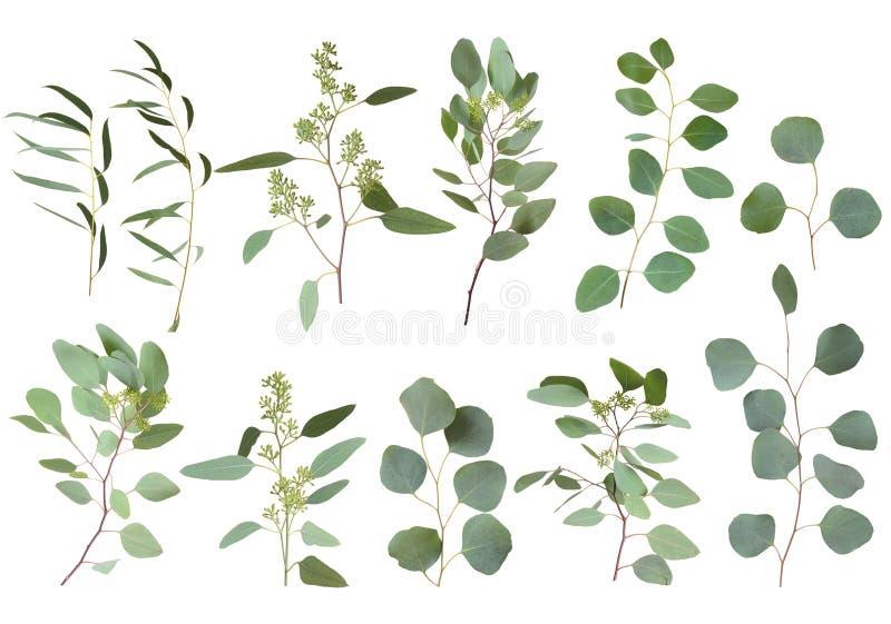 Η ασημένια πρασινάδα δολαρίων ευκαλύπτων, τα φυσικά φύλλα φυλλώματος δέντρων γόμμας & τα τροπικά στοιχεία τέχνης σχεδιαστών κλάδω στοκ εικόνα με δικαίωμα ελεύθερης χρήσης