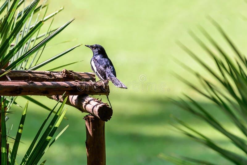 Download Η ασιατικά κίσσα-Robin ή Saularis Copsychus, μικρό πουλί Passerine Στοκ Εικόνα - εικόνα από wildlife, άπληστη: 62713871