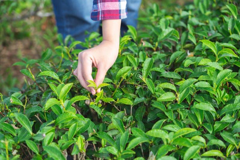 Η ασιατική γυναίκα που μαζεύει με το χέρι επάνω τα φύλλα τσαγιού από τη φυτεία τσαγιού, οι νέοι βλαστοί είναι μαλακοί βλαστοί Το  στοκ εικόνες
