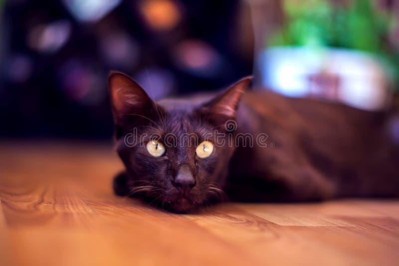Η ασιατική συνεδρίαση γατών shorthair και η προσοχή, γκρίζο ζωικό κατοικίδιο ζώο, στοκ φωτογραφίες