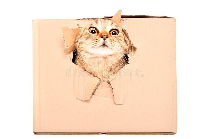 Η αστεία γάτα κοιτάζει από μια σχισμένη τρύπα σε ένα κιβώτιο στοκ εικόνα