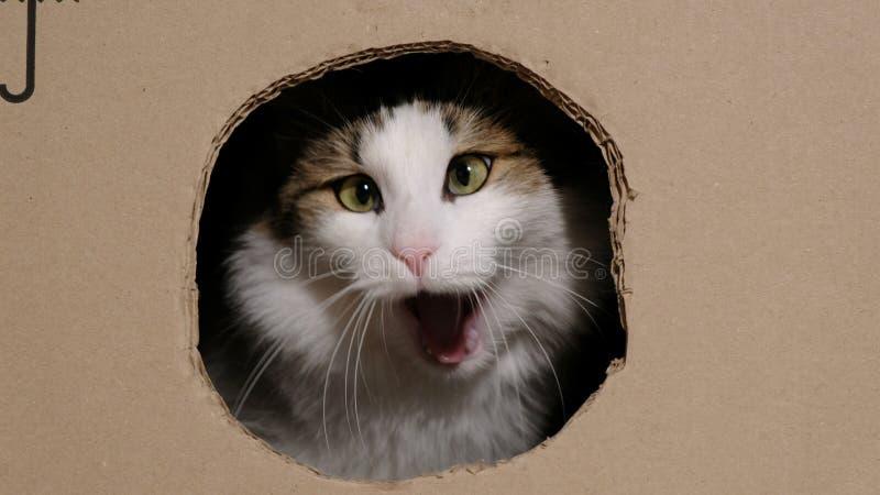 Η αστεία γάτα ροκανίζει ένα κουτί από χαρτόνι με μια τρύπα που εισάγει μέσα, χασμουρητά όπως ένα λιοντάρι στοκ εικόνες