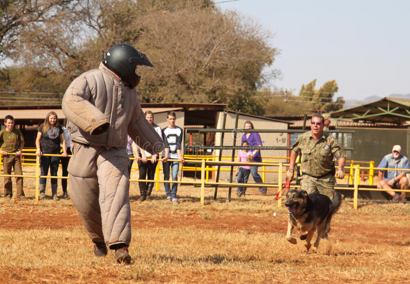 Η αστυνομία εκπαίδευσε το αλσατικό σκυλί, παίρνει το γεμισμένο προφθάνοντας άτομο στο sho στοκ εικόνες