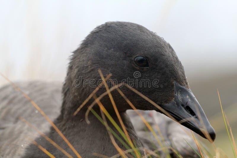 Η ασυνήθιστη μαύρη χήνα στηρίζεται στο βρύο ταράνδων στοκ εικόνες με δικαίωμα ελεύθερης χρήσης