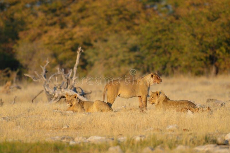 Η αφρικανική ομάδα λιονταριών φαίνεται περίεργη, etosha nationalpark στοκ εικόνες