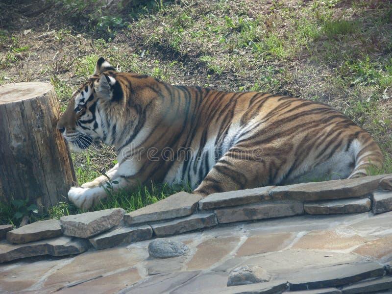 Η αφρικανική τίγρη είναι μια αρπακτική γάτα από τη γάτα και ριγωτή στοκ εικόνες με δικαίωμα ελεύθερης χρήσης