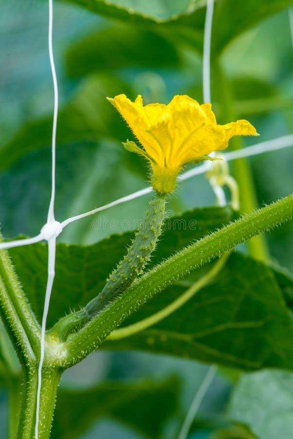 Η αύξηση και η άνθιση των αγγουριών κήπων στοκ φωτογραφία