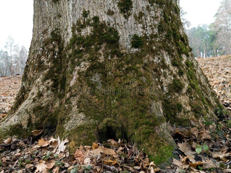 Η βάση ενός μεγάλου παλαιού δέντρου σφενδάμνου με το βρύο στη βόρεια πλευρά ο στοκ εικόνες