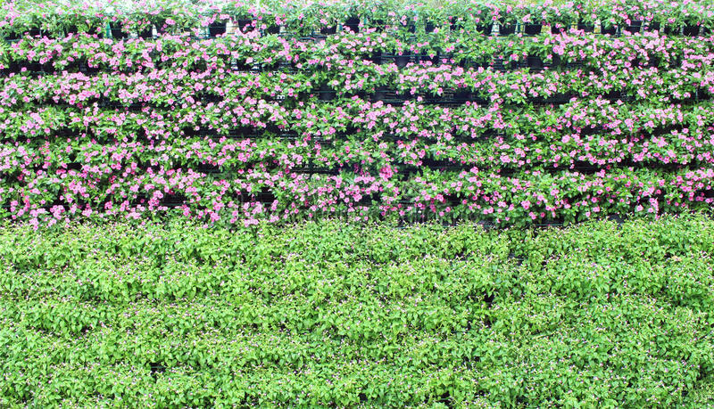 Η βίγκα της Μαδαγασκάρης ανθίζει τον κάθετο κήπο στοκ φωτογραφία με δικαίωμα ελεύθερης χρήσης