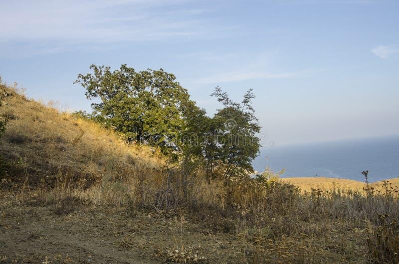Η βαλανιδιά αυξάνεται στη βουνοπλαγιά στα πλαίσια της θάλασσας στοκ φωτογραφία