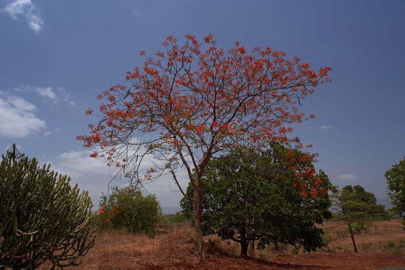 Η βασιλικά άνθιση regia δέντρων poinciana delonix, Gulmohar, δέντρο φλογών ή peacock ανθίζουν στο υπόβαθρο ουρανού στοκ φωτογραφία