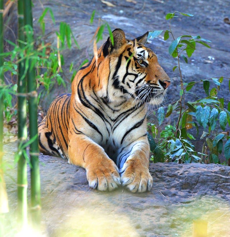 Η βασιλική τίγρη της Βεγγάλης χαλαρώνει στοκ εικόνα με δικαίωμα ελεύθερης χρήσης