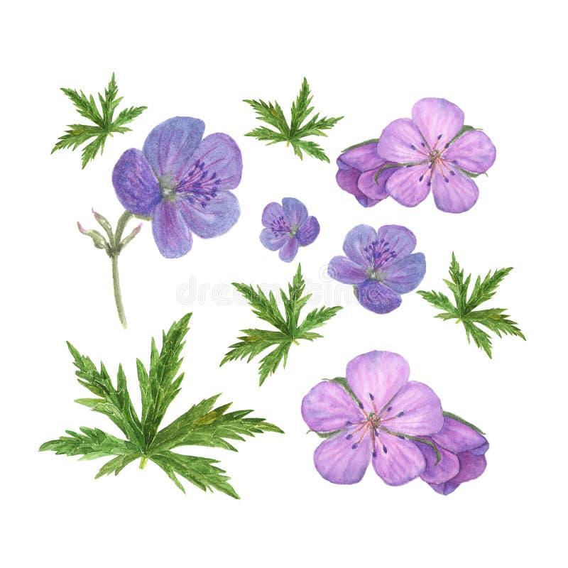 Η βοτανική απεικόνιση watercolor του ιώδους γερανιού ανθίζει και πράσινα φύλλα που απομονώνονται στο άσπρο υπόβαθρο ελεύθερη απεικόνιση δικαιώματος