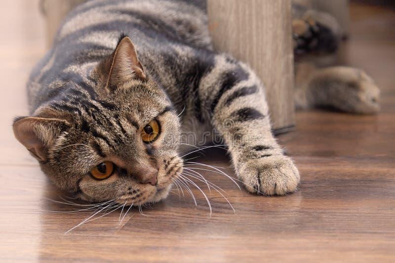 Η βρετανική κοντή γάτα φυλής τρίχας με τα φωτεινά κίτρινα μάτια κρυφοκοιτάζει από πίσω από την καρέκλα, κυνηγώντας για κάτι Χρώμα στοκ φωτογραφίες