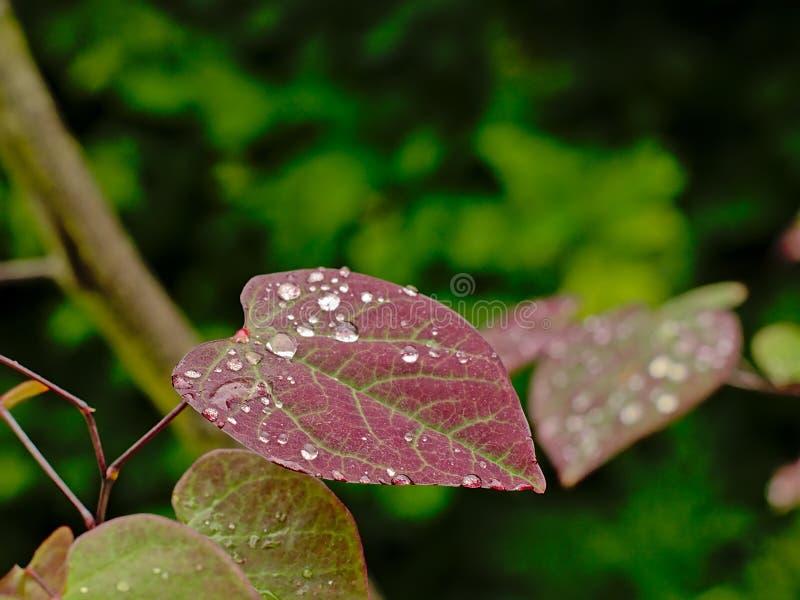 Η βροχή δ σχίζει σε ένα φύλλο bloodleaf στον κήπο στοκ φωτογραφίες
