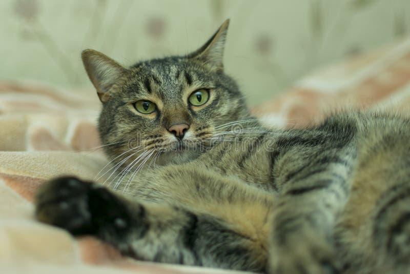 Η γάτα βρίσκεται στο καρό του κρεβατιού στοκ φωτογραφία με δικαίωμα ελεύθερης χρήσης